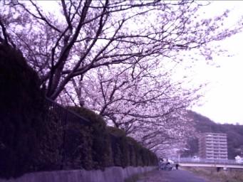 来年は定番の桜並木を目指しませう.